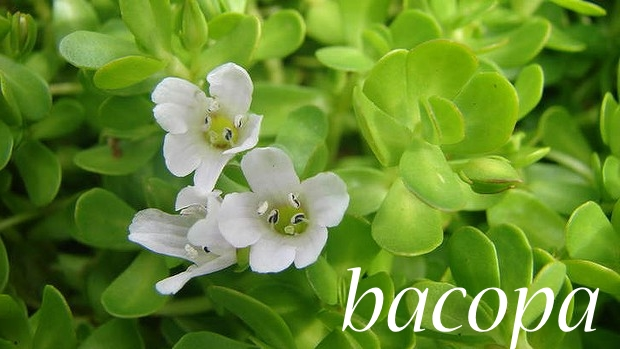 bacopa-herb