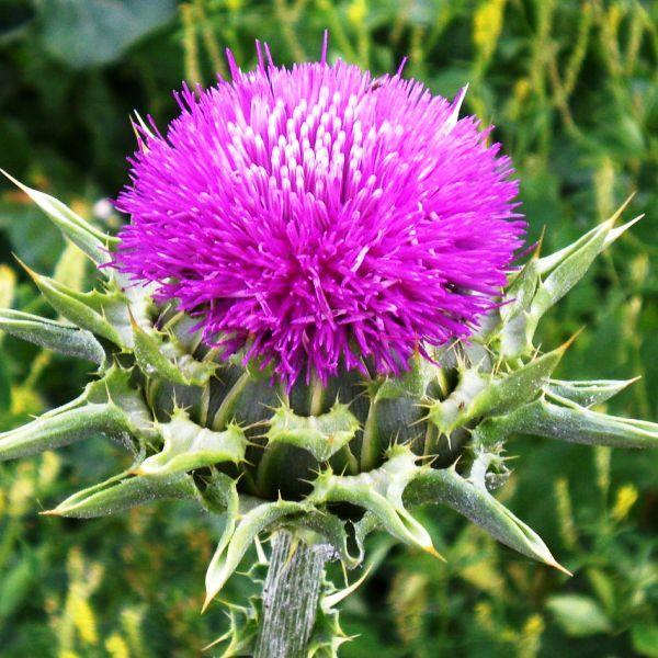 расторопша растение с ярко розовым цветком