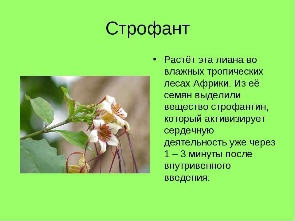 Строфант