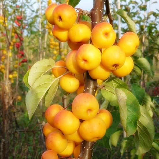 Плоды крабовой яблони