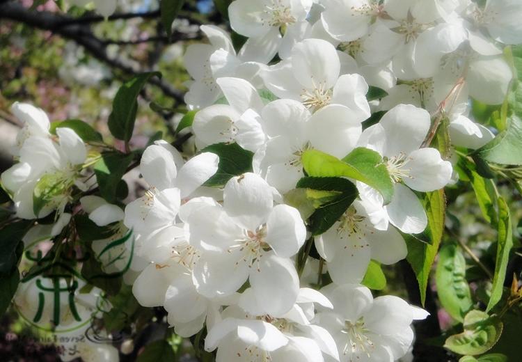 crab apple - цветочная эссенция Баха