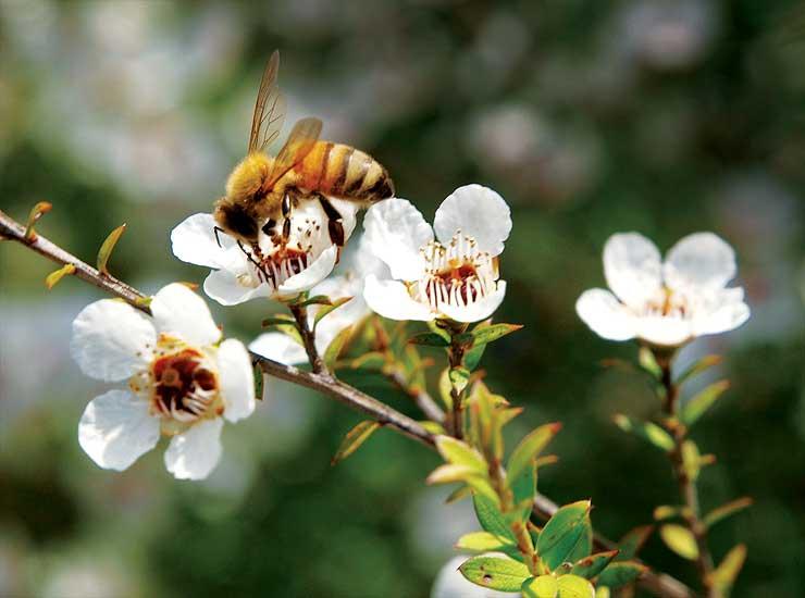 Пчела на цветках мануки