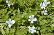 Bacopa — трава для улучшения памяти