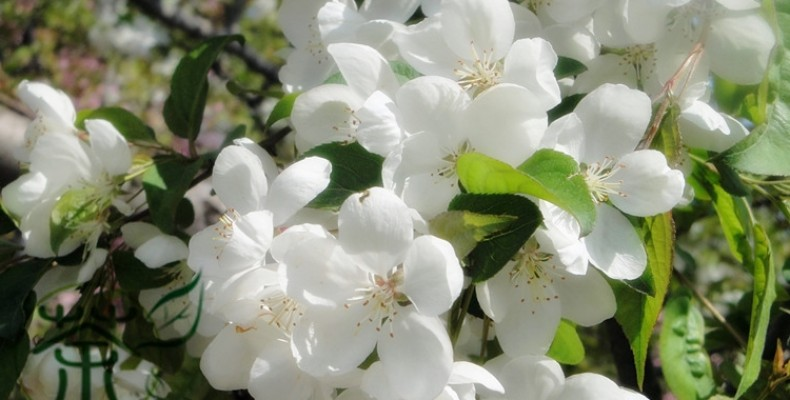 Crab apple — крабовое яблоко