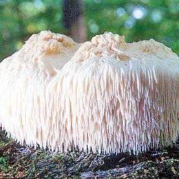 Hericium erinaceus – что это и в чем его польза
