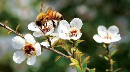 Манука мед — польза и вред манука меда