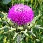 Расторопша — лечебные свойства и отзывы