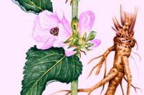 Почему корневища аптечного алтея так ценятся фитотерапевтами и что думают об этом растении доктора?