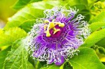 Что такое страстоцвет и для чего его принимают женщины